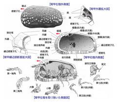 貝形虫類の体制