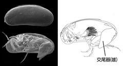 間隙性貝形虫類Microloxoconcha属の体制