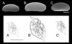 Microloxoconcha属3種の背甲形態と交尾器形態の比較
