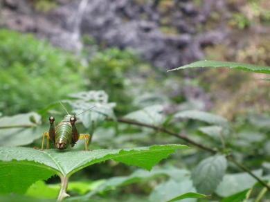 a-59 .滝を眺めるトノサマバッタ.JPG